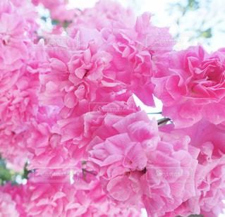 バラの花の写真・画像素材[1466066]