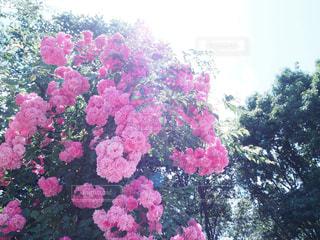 バラの花の写真・画像素材[1466072]