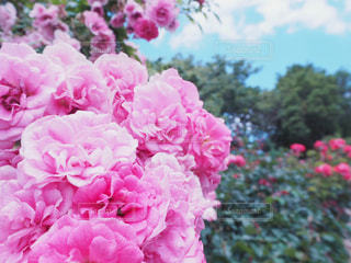 バラと秋の空の写真・画像素材[1466089]