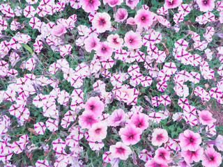 お花の写真・画像素材[1466090]