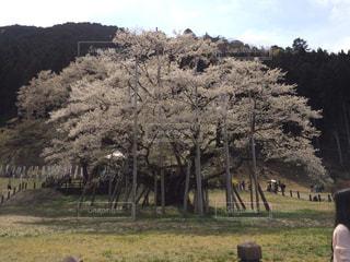 淡墨桜の写真・画像素材[1368072]