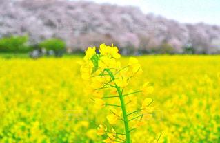 菜の花の写真・画像素材[1156529]