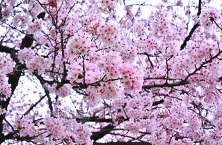 満開の桜の写真・画像素材[1156535]