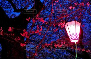 夜桜の写真・画像素材[1157085]