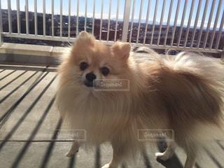 ドヤ顔の愛犬の写真・画像素材[1185037]
