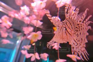 桜とミノカサゴの写真・画像素材[1437365]