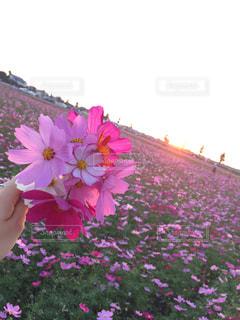 夕日と秋桜の写真・画像素材[1465324]
