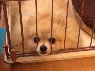 カメラを見て、小さな茶色と白犬の写真・画像素材[1622736]