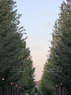 銀杏並木の写真・画像素材[1507375]