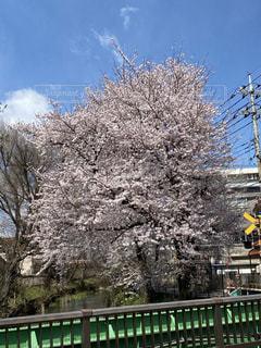 空,花,春,橋,屋外,川,樹木,草木,桜の花,さくら