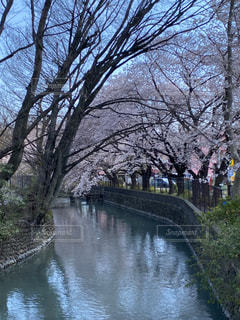 空,花,春,桜,屋外,川,水面,樹木,草木,さくら