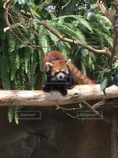 枝に横になっているパンダの写真・画像素材[760914]