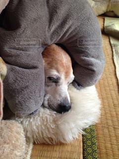 ベッドの上に座っている犬の写真・画像素材[906511]
