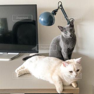 灰色と白猫がテーブルに座っての写真・画像素材[941234]