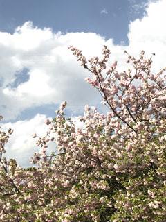 木にピンクの花のグループの写真・画像素材[1157123]