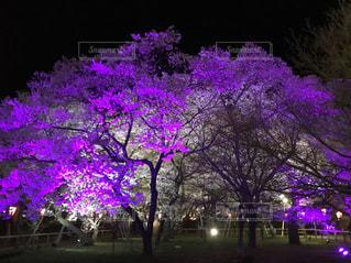 紫色の桜の写真・画像素材[1125695]
