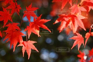 木からぶら下がっている赤い花の写真・画像素材[874791]