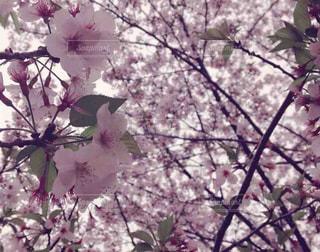 団子より花の写真・画像素材[1382233]