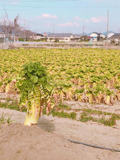 食べ物,自然,空,緑,植物,青空,黄色,野菜,大地,大きい,地面,イエロー,グリーン,畑,大根,黄,big,食物,ビッグ,黄緑,幸せの黄色