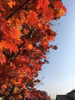 もみじの紅葉と秋空の写真・画像素材[858556]