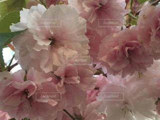 造幣局桜の通り抜けの八重桜の写真・画像素材[1128481]
