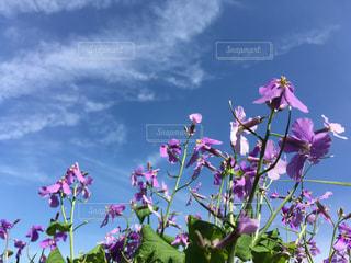 紫花菜・紫金草・むらさきだいこん 青空に映える花ですねの写真・画像素材[1152544]
