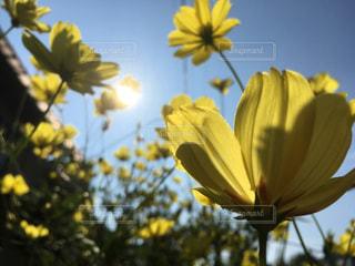 黄色コスモスが朝日に輝いていますの写真・画像素材[1499035]