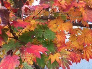 カラフルな花の木から栽培の写真・画像素材[1640108]