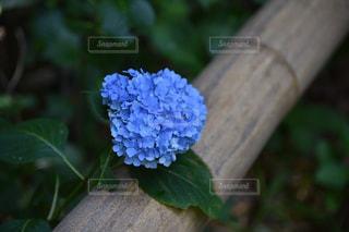 花,植物,紫陽花,鎌倉