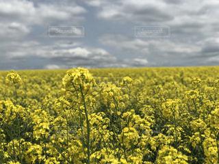 フィールド内の黄色の花の写真・画像素材[1866815]