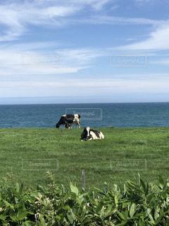 水域の隣の緑豊かな野原で放牧している牛の写真・画像素材[2374977]