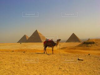 ギザの三大ピラミッドとラクダの写真・画像素材[787214]