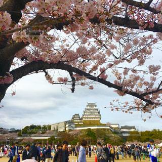 桜との姫路城の写真・画像素材[788699]