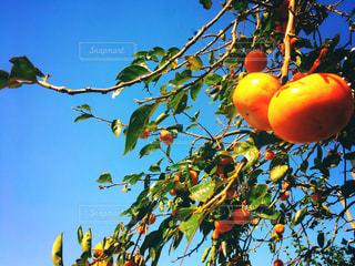 秋の味覚 柿の写真・画像素材[831280]