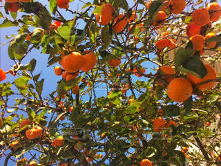 秋の味覚 柿の写真・画像素材[831284]