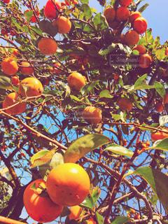 秋の味覚 柿の写真・画像素材[831302]