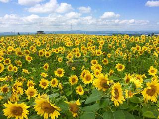 ひまわり畑の写真・画像素材[880170]