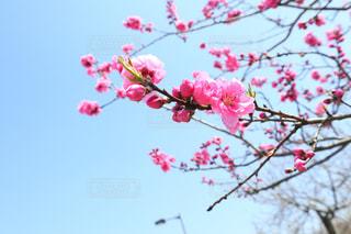 花桃の写真・画像素材[1105513]