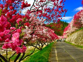 花桃の里の写真・画像素材[1122020]