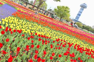 フィールドに赤い花の写真・画像素材[1122458]