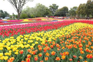 バック グラウンドでキューケンホフとフィールドの黄色い花の写真・画像素材[1122465]