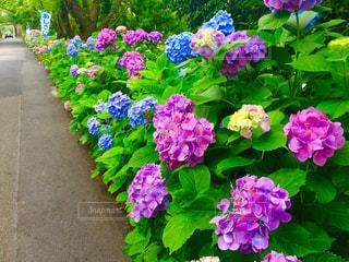 紫陽花の写真・画像素材[1123598]