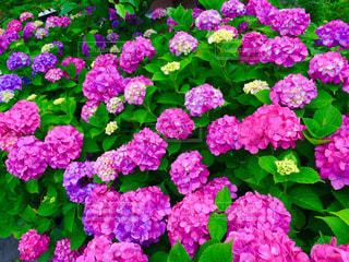 紫陽花の写真・画像素材[1123601]