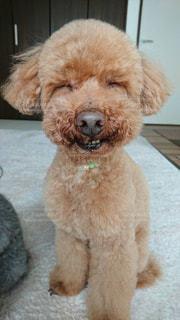 カメラを見て茶色と白犬の写真・画像素材[1138666]