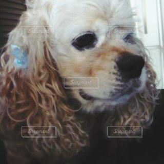 カメラを見て茶色と白犬の写真・画像素材[980559]