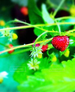 近くに果物のの写真・画像素材[1118121]