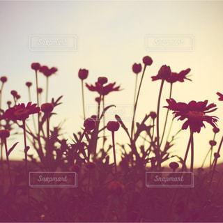 空,花,コスモス,ベランダ,花のある暮らし