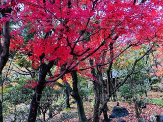 森の大きな木の写真・画像素材[875528]