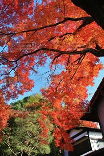 京都安楽寺の紅葉の写真・画像素材[770181]
