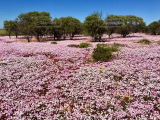 西オーストラリア州のワイルドフラワー群の写真・画像素材[843042]